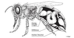 gifttiere tiergifte bienen wespen hornissen und hummeln. Black Bedroom Furniture Sets. Home Design Ideas
